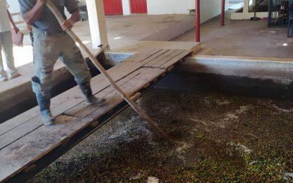 La Hacienda La Vega tiene 80.000 plantas de café sembradas
