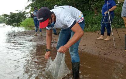 Cultivan alevines de Cachama negra en el río Caparo